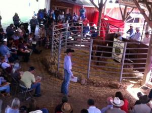 Luke Mobley at Adams Ranch Braford Sale 2014